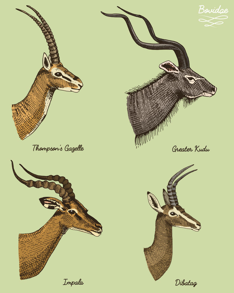 Gazelles Vs Antelopes | What is the difference between a Gazelle ...